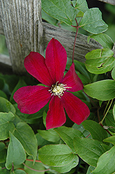 Sunset Clematis (Clematis 'Sunset') at The Growing Place