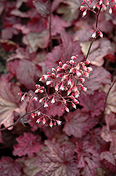 Berry Smoothie Coral Bells (Heuchera 'Berry Smoothie') at The Growing Place