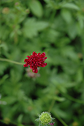Mars Midget Scabious (Knautia macedonica 'Mars Midget') at The Growing Place