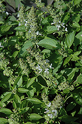 Mrs. Burns Famous Lemon Basil (Ocimum basilicum 'Mrs. Burns Famous Lemon') at The Growing Place