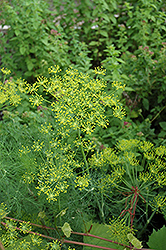 Dill (Anethum graveolens) at The Growing Place
