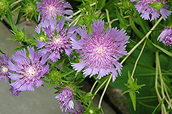 Stoke's Aster (Stokesia laevis) at The Growing Place