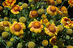 Arizona Apricot Blanket Flower (Gaillardia x grandiflora 'Arizona Apricot') at The Growing Place