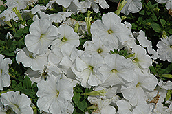 Pretty Flora White Petunia (Petunia 'Pretty Flora White') at The Growing Place