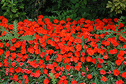 SunPatiens® Compact Electric Orange New Guinea Impatiens (Impatiens 'SunPatiens Compact Electric Orange') at The Growing Place