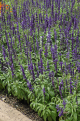 Victoria Blue Salvia (Salvia farinacea 'Victoria Blue') at The Growing Place