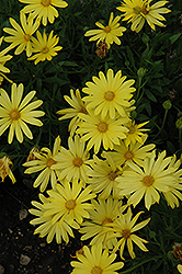 Voltage Yellow African Daisy (Osteospermum 'Voltage Yellow') at The Growing Place