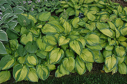 Paradigm Hosta (Hosta 'Paradigm') at The Growing Place