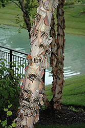 River Birch (Betula nigra) at The Growing Place
