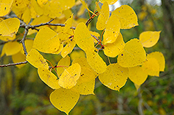 Trembling Aspen (Populus tremuloides) at The Growing Place