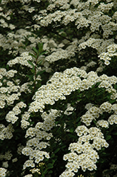 Snowmound Spirea (Spiraea nipponica 'Snowmound') at The Growing Place