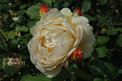 Golden Celebration Rose (Rosa 'Golden Celebration') at The Growing Place