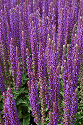 East Friesland Sage (Salvia nemorosa 'East Friesland') at The Growing Place