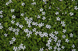 Blue Star Creeper (Isotoma fluviatilis) at The Growing Place
