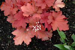 Rio Coral Bells (Heuchera 'Rio') at The Growing Place