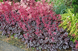 Glitter Coral Bells (Heuchera 'Glitter') at The Growing Place