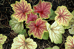 Red Lightning Coral Bells (Heuchera 'Red Lightning') at The Growing Place