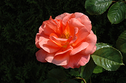 Above All Rose (Rosa 'CHEwesic') at The Growing Place