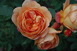 Lady Of Shalott Rose (Rosa 'Ausnyson') at The Growing Place