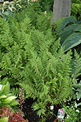 Lady in Red Fern (Athyrium filix-femina 'Lady in Red') at The Growing Place