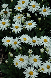 Whoops-A-Daisy Shasta Daisy (Leucanthemum x superbum 'Whoops-A-Daisy') at The Growing Place
