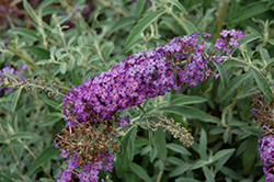 Blue Knight Butterfly Bush (Buddleia 'Blue Knight') at The Growing Place
