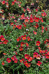 Sunsatia Blood Orange Nemesia (Nemesia 'Sunsatia Blood Orange') at The Growing Place