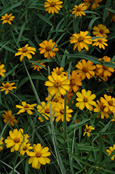 Star Gold Zinnia (Zinnia angustifolia 'Star Gold') at The Growing Place