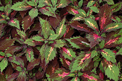 Marquee Special Effects Coleus (Solenostemon scutellarioides 'Special Effects') at The Growing Place
