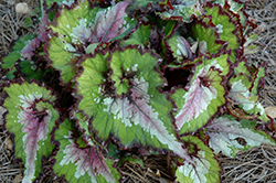 Jurassic Watermelon Begonia (Begonia 'Jurassic Watermelon') at The Growing Place