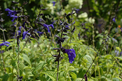 Black And Blue Anise Sage (Salvia guaranitica 'Black And Blue') at The Growing Place