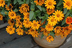 Zahara® Sunburst Zinnia (Zinnia 'Zahara Sunburst') at The Growing Place