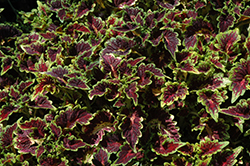 Party Time Sangria Coleus (Solenostemon scutellarioides 'Party Time Sangria') at The Growing Place