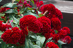 Twisted Celosia (Celosia cristata 'Twisted') at The Growing Place