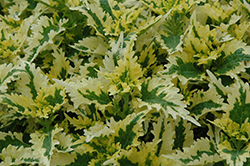 Dutch Mill Drive Coleus (Solenostemon scutellarioides 'Dutch Mill Drive') at The Growing Place