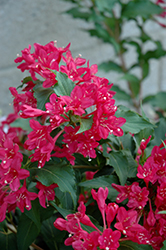 Sonic Bloom Red® Reblooming Weigela (Weigela florida 'Verweig 6') at The Growing Place