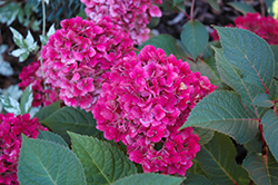 Bloomstruck Hydrangea (Hydrangea macrophylla 'PIIHM-II') at The Growing Place