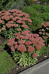 Autumn Fire Stonecrop (Sedum spectabile 'Autumn Fire') at The Growing Place