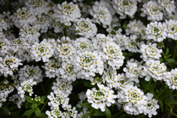 Snowflake Candytuft (Iberis sempervirens 'Snowflake') at The Growing Place