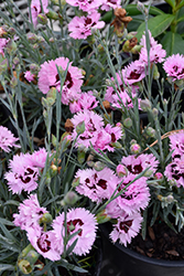 Early Bird™ Fizzy Pinks (Dianthus 'Wp08 Ver03') at The Growing Place