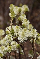 Mt. Airy Fothergilla (Fothergilla major 'Mt. Airy') at The Growing Place