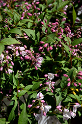 Yuki Cherry Blossom® Deutzia (Deutzia 'NCDX2') at The Growing Place