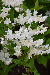 Chardonnay Pearls Deutzia (Deutzia gracilis 'Duncan') at The Growing Place