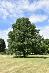 Swamp White Oak (Quercus bicolor) at The Growing Place