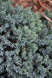 Blue Star Juniper (Juniperus squamata 'Blue Star') at The Growing Place