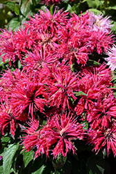 Cherry Pops Beebalm (Monarda 'Cherry Pops') at The Growing Place