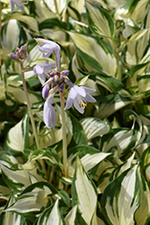 Loyalist Hosta (Hosta 'Loyalist') at The Growing Place
