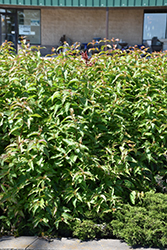 Butterfly Southern Bush Honeysuckle (Diervilla sessilifolia 'Butterfly') at The Growing Place