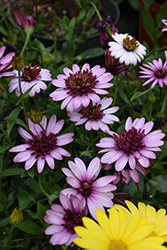 4D™ Berry White African Daisy (Osteospermum 'KLEOE15257') at The Growing Place