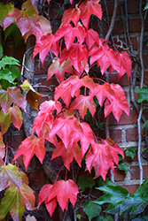 Boston Ivy (Parthenocissus tricuspidata) at The Growing Place